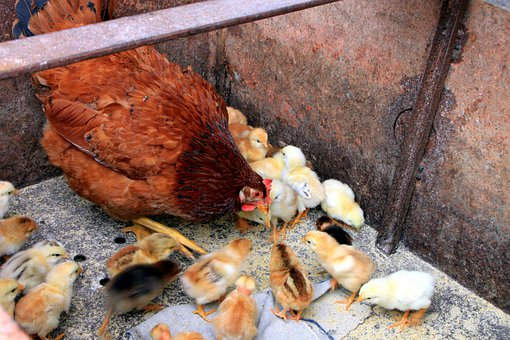 Chicken, Chicks, Feeding, Hen, Mother, Poultry, Birds