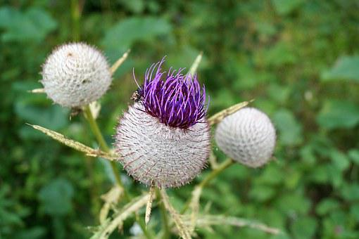 Thistle, Flower, Prickly, Plant, Fucking, Spines