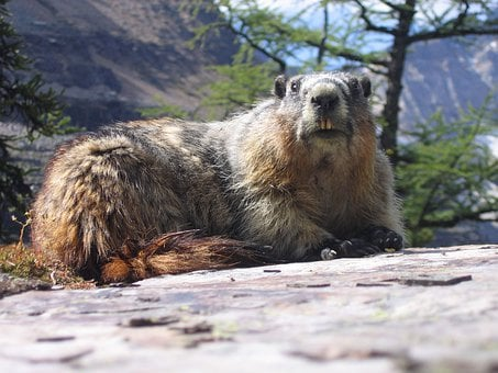 Marmot, Groundhog, Rodent, Mammal, Wildlife, Close Up