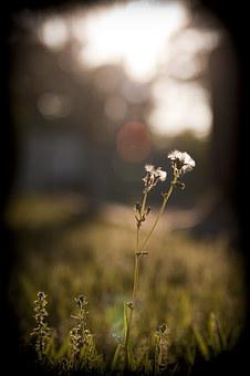 Dandelion, Grass, Sunset, Sunshine, Light, Twilight, S