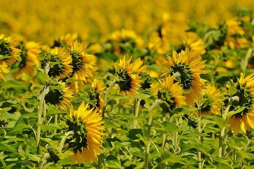 Sunflower, Field, From The Rear, Summer, Garden
