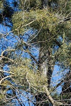 Poplar, Tree Mistletoe, Nature Conservation, Nature