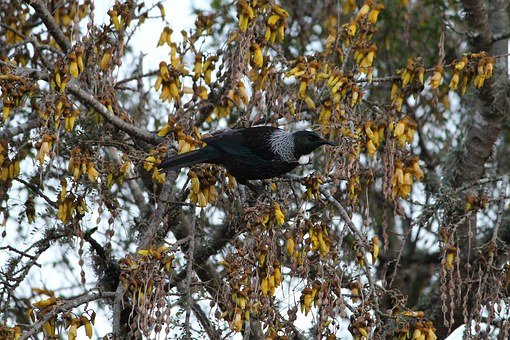 Tui, Tui Bird, New, Zealand, Bird, Black, Branch