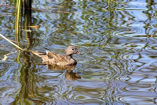 Duck, Gadwall, Water Bird, Water, Lake
