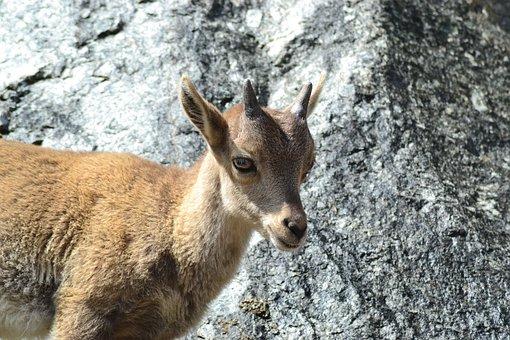 Capricorn, Animal Child, Mountains, Mountain World