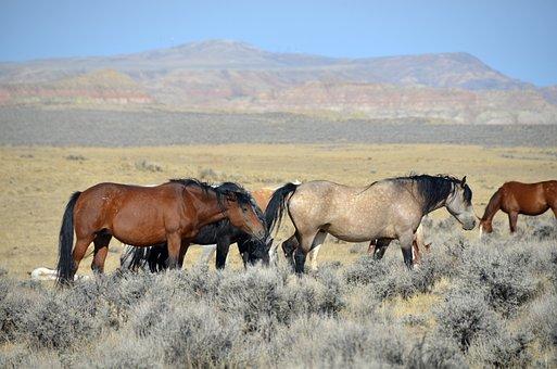 Horses, Wyoming, Mustangs, Wild Mustangs, Animals, West