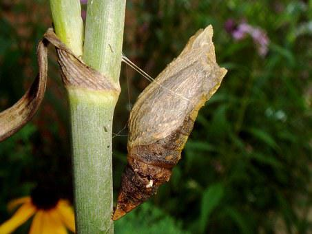 Chrysalis, Caterpillar, Butterfly, Insect, Wildlife