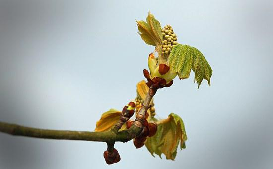 Sky, Chestnut, Bud, Tree, Autumn, Chestnut Tree