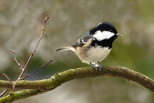 Coal Tit, Tit, Bird, Animal, Periparus Ater, Sitting