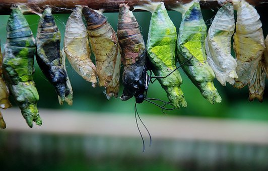 Cocoon, Butterfly Chrysalis, Bug, Insect, Caterpillar