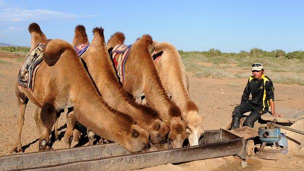 Camels, Thirst, Desert, Mongolia, Gobi, Drinking Agency