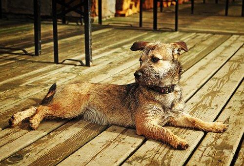 Dog, A Yorkshire, Wet, Animal, Psiaczek, Beige