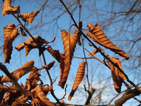 Carpinus Betulus, Europena Hornbeam, Common Hornbeam