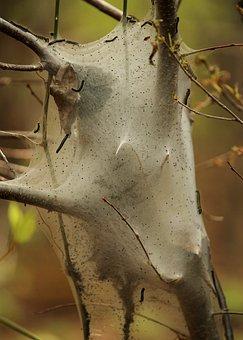 Tent Caterpillar, Malacosoma Americanum, Garden Pest