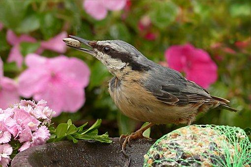 Kleiber, Sitta Europae, Bird, Young, Foraging, Garden