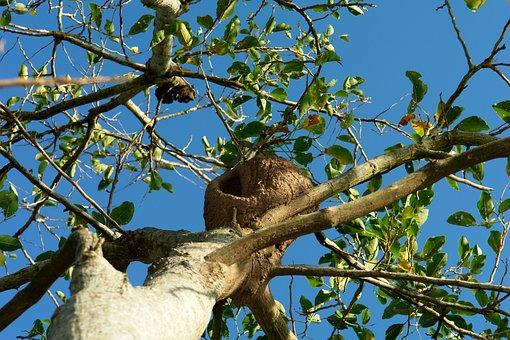 Nest, Ave, Bird, Tree, Rufous Hornero, Wild, Nature