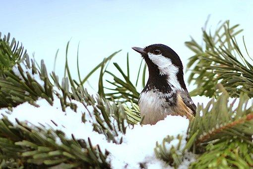 Tit, Coal Tit, Periparus Ater, Bird, Garden, Winter