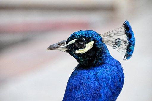Peacock, Royal Palace, Lazienki Park, Warsaw, Poland