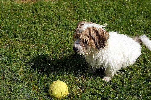 Dog, Water, Summer, Ball, Tennis Ball, Splashing