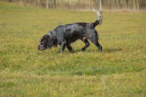 Dog, German Quail, Quail Dog, Browse, Stoeberhund, Male