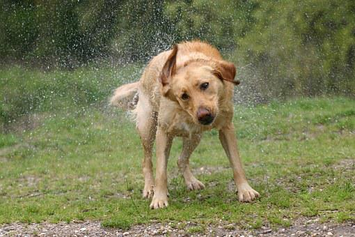 Labrador, Dog, Pet, Wet, Fur, Shake