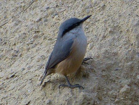 Kleiber, Young, Small, Stone Wall, Bird, Young Bird