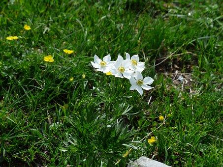 Anemone Narcissiflora, Flowers, White