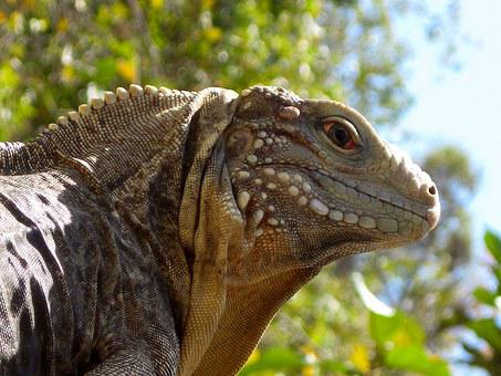 Iguana, Cuba, Reptile, Animal, Nature, Lizard, Wildlife