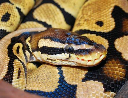 Snake, Python, Ball Python, Animal, Scale, Beauty