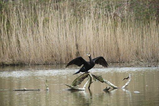 Bird, Wing, Animal, Cormorant, Water, Fly, Start