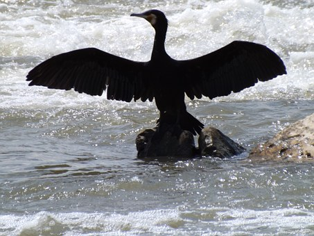 Birds, Cormorant, Wings, Water, Black, Dance