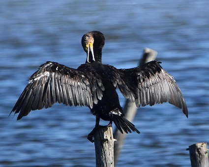 Cormorant, Grooming, Wings, Bird, Black Feathers