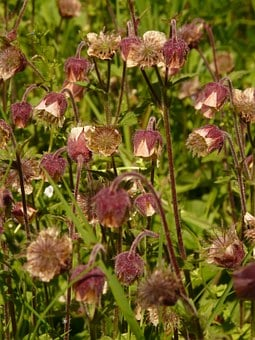 Avens, Pointed Flower, Blossom, Bloom, Red, Violet