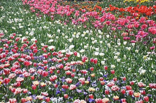 Tulip, Flower, Flora, Floral, Blossom, Bloom, Plant