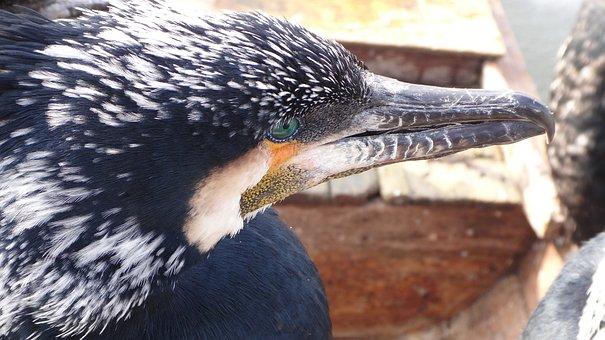 Cormorant, Birds, China, Boat, Fishing, River, Animal