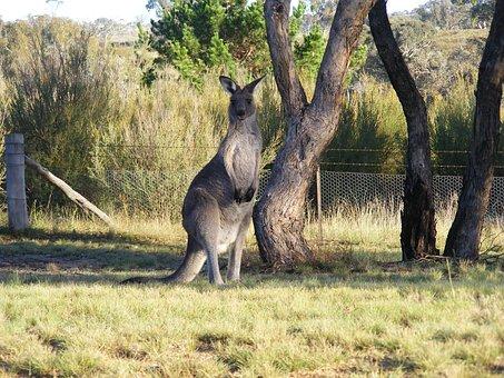 Kangaroo, Canberra, Skipy