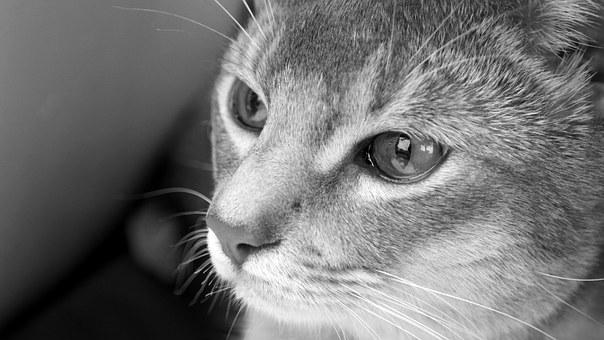 Cat, Abyssinian, Black And White, Tranquil, Gaze