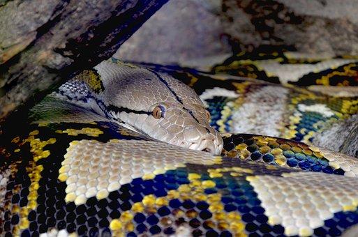Python, Net Python, Beauty, Constrictor, Close, Reptile