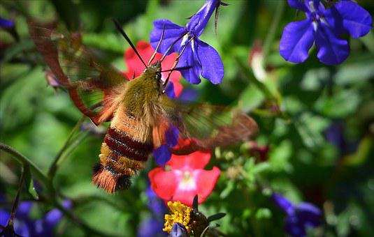 Sphinx Moth, Sphinx Hummingbird, Flowers, Colors