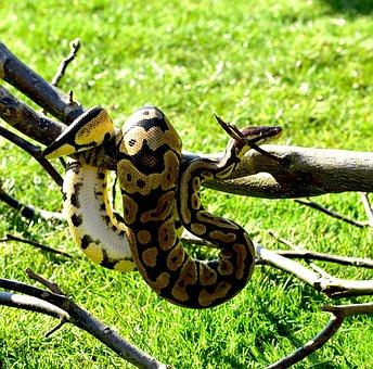 Snake, Python, Ball Python, Cute, Constrictor, Boa