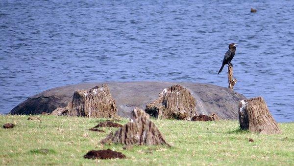 Little Cormorant, Cormorant, Bird, Black, Diver, Fisher
