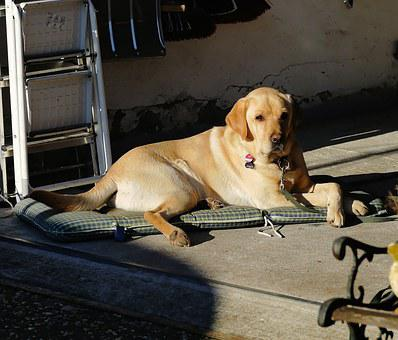 Labrador, Male, Portrait, Animal, Dog, Dear, Pet
