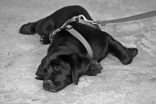 Labrador, Dog Leash, On Leash, Puppy, Dog, Sweet, Lying