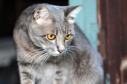 Cat, Eye, View, Gazing, Prey, Gray, Roan
