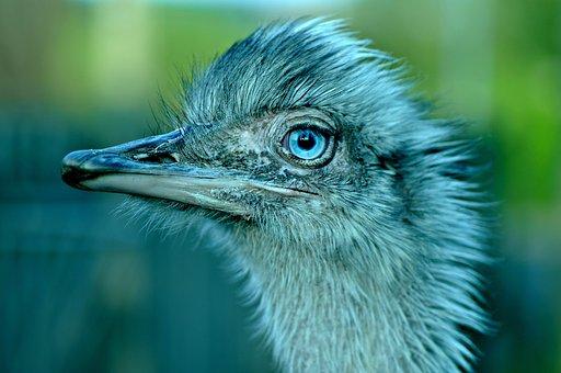 Bird, Great Rhea, Flightless, Zoo, Eye, Stare, Gaze