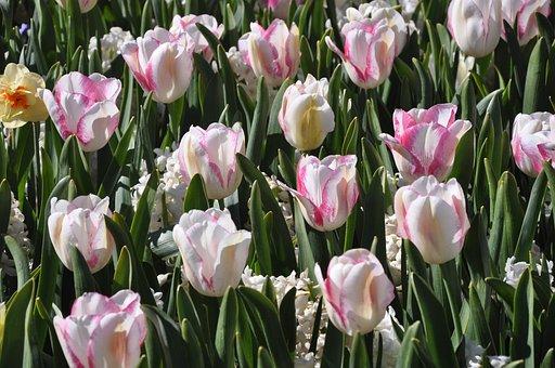 Tulip, Flower, Field, Color, Flora, Floral, Blossom