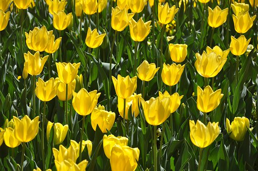 Tulips, Yellow, Bloom, Flower, Floriade, Canberra