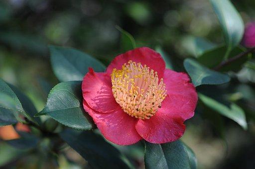 Camelia, Flower, Locarno, Park Of The Camellias