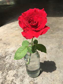 Rose, Nice, Red, Flower, Pottle, Outdoors