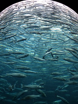 Sardines, Fish, Swarm, Glass Cylinder, Aquarium